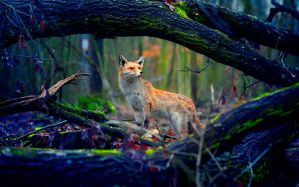 Fox by Inguan