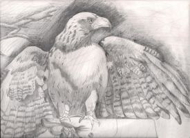 Hawk Sketch by IcePanthress