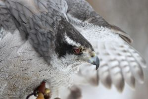 Goshawk by mydigitalmind