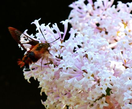 Clear Winged Hummingbird Moth by donnatello129