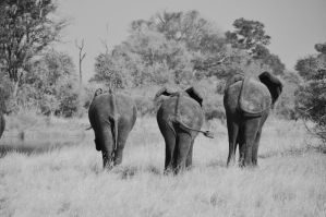 Elephants III by Caatherinee