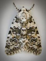 CARPET MOTH by iriscup