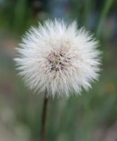Dandelion by Puppers1