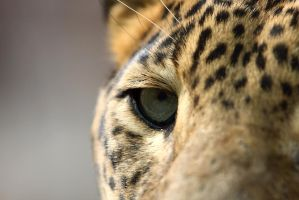 A leopard's eye by AF--Photography