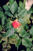 The Red Rose by B-A-B-E