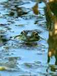 frog by clandestine-stock