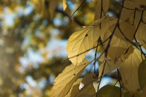 Yellow leaves by sztewe