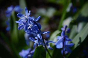 Siberian Squill by HenrikSundholm