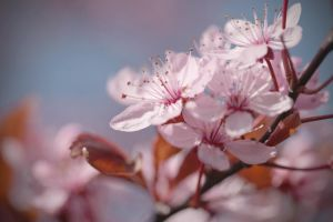 cherry blossoms 5 by 30-noir