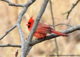 Cardinal Between Branches by euphoricmadness