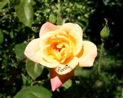 Yellow Rose by Feelin3