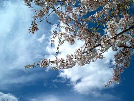 Cherry Blossoms by droftreeology