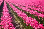 Pink Tulip Rows Converging 1 by AaronPlotkinPhoto