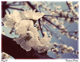 Apricot Flower by VanSD