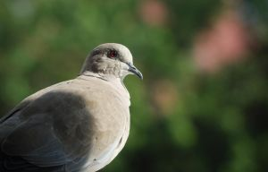 Dove by Anlin