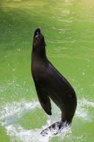 Sea lion Stock 22 by Malleni-Stock