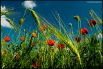 May poppies by John77