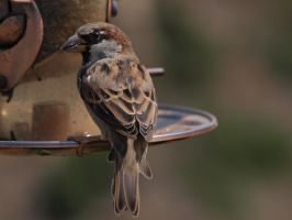 Sparrows and Finches 4 by photographyflower