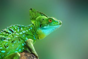 Reptile - Basilicus Plumifrons by Point-Blank-Silence