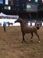 US Nationals - Halter 19 by Nyaorestock