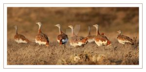 A flock of Great Bustards by Jamie-MacArthur