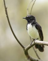 Willy Wagtail 2 by bredli84