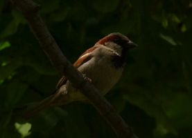 House Sparrow by Noble-Kenshi