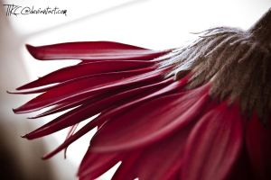 Red Gerbera 2 by TTKC