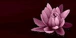 Water Lily by Lizandre