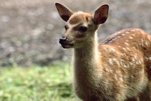 little sika by AlleyCat91