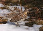 Ruffed Grouse on snow by natureguy