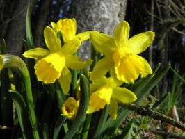 jonquil by Mittelfranke