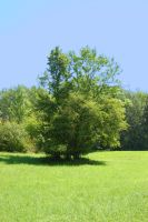 Meadow with a old tree by gatterwe