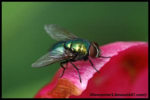 Green Bottle Fly by oliverporter3