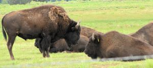 Bison - Adults 2 by cozzybob