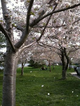 blossoms. by catgirrl246
