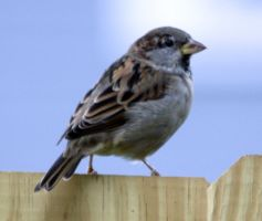 House Sparrow by BirdyLee