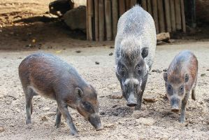 Visayan warty pigs Family 3700 by dkbarto