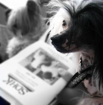 Chinese Crested Dog by Gelepudding