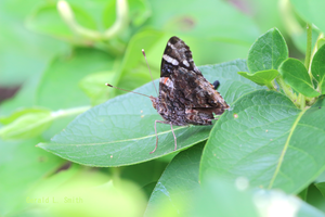 Red Admiral 7 by Gerryanimator