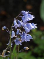 Bluebells Stock 02 by botanystock