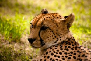 Cheetah in Moscow zoo by GrinnDeSoll