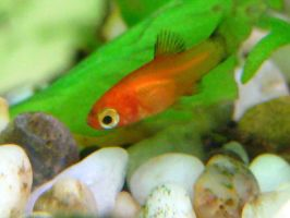 baby platy by Fishybobo