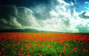 Poppy field by ale2xan2dra