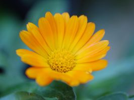 Orange daisy. by asaluiphotography