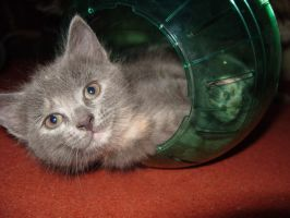 Kitten in a hamster ball by make-a-snappy