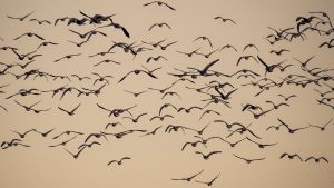 Flight of the Pink Footed Geese by Dellboyy