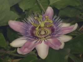 Passion Flower by XiuhTiger