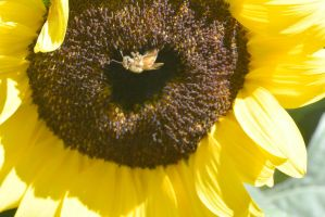 Sunflowers Are Buzzing, In the Center by Miss-Tbones