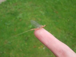 Mayfly by theoriginalJD